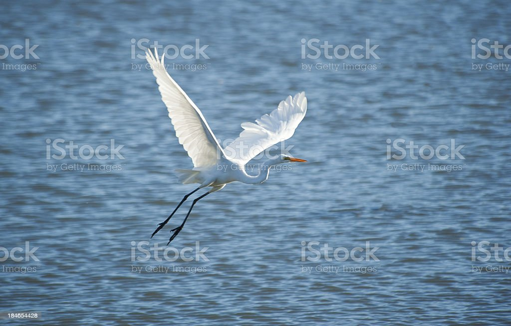 Egret in Flight royalty-free stock photo