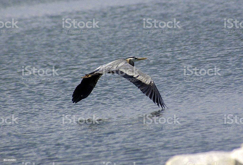 Egret In Flight royalty-free stock photo