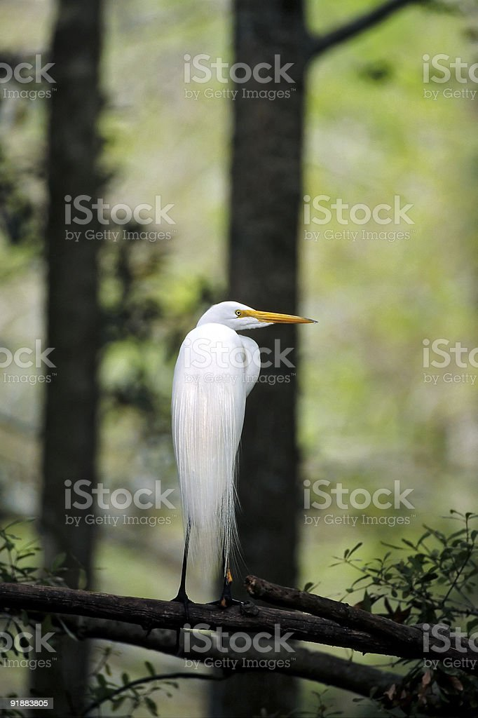 Egret in Forest stock photo