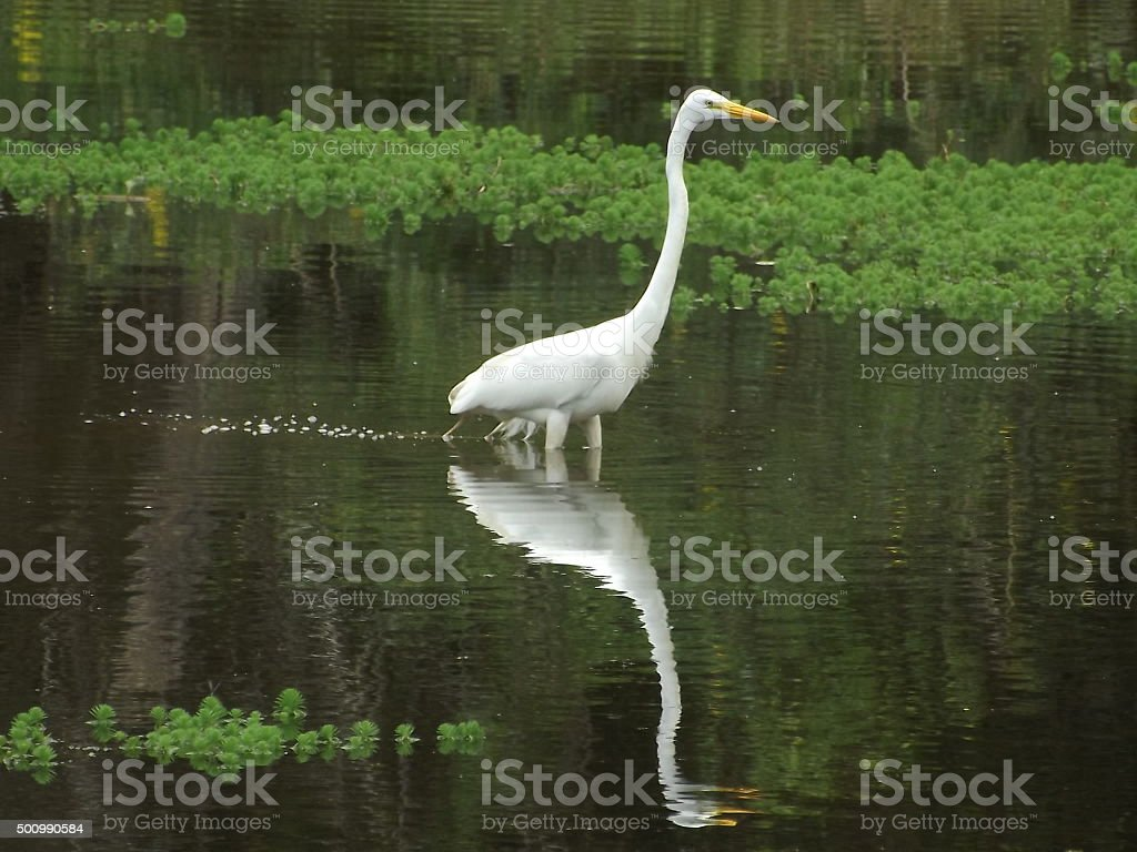Egret in reflection stock photo