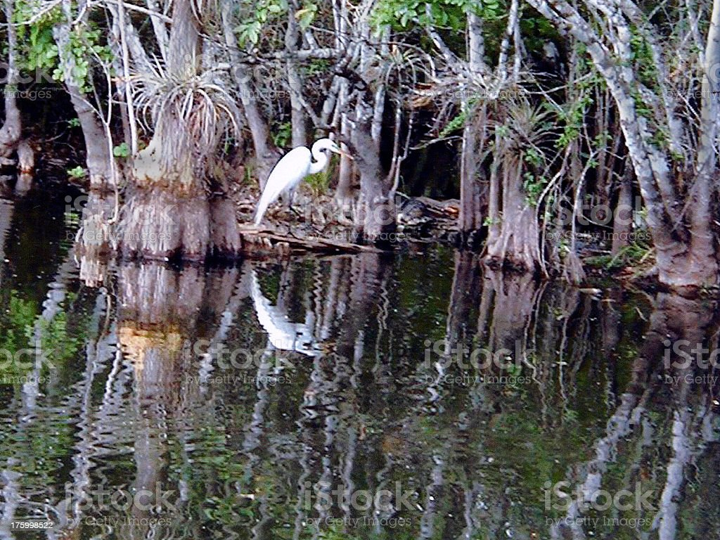 Egret in the Everglades stock photo