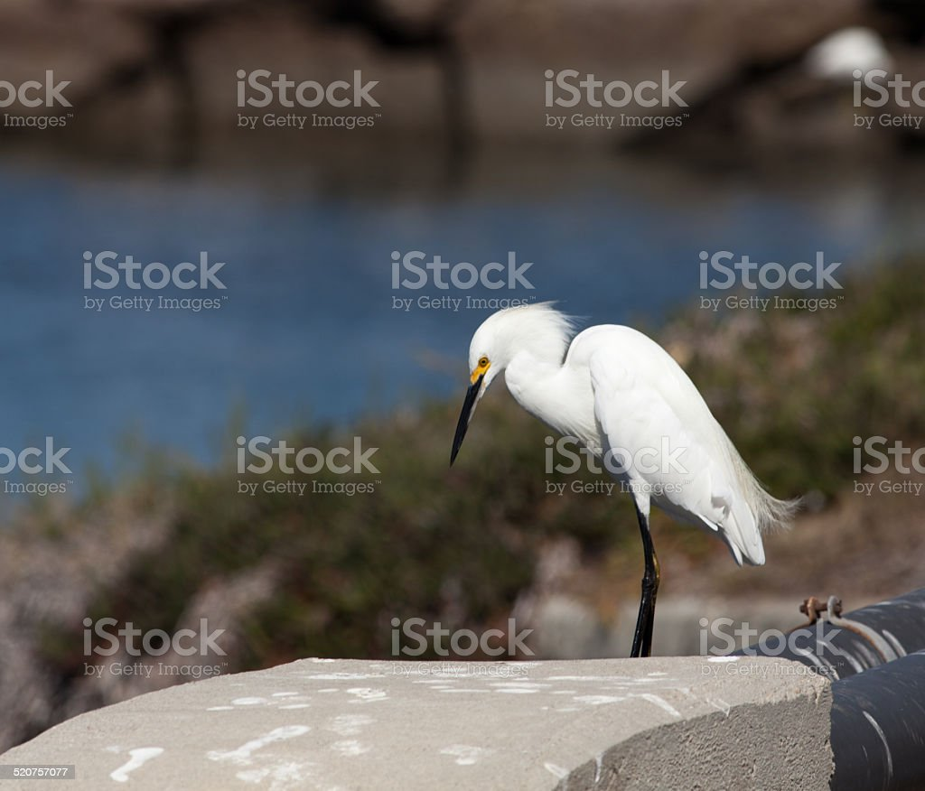 Egret Lookng For Food stock photo