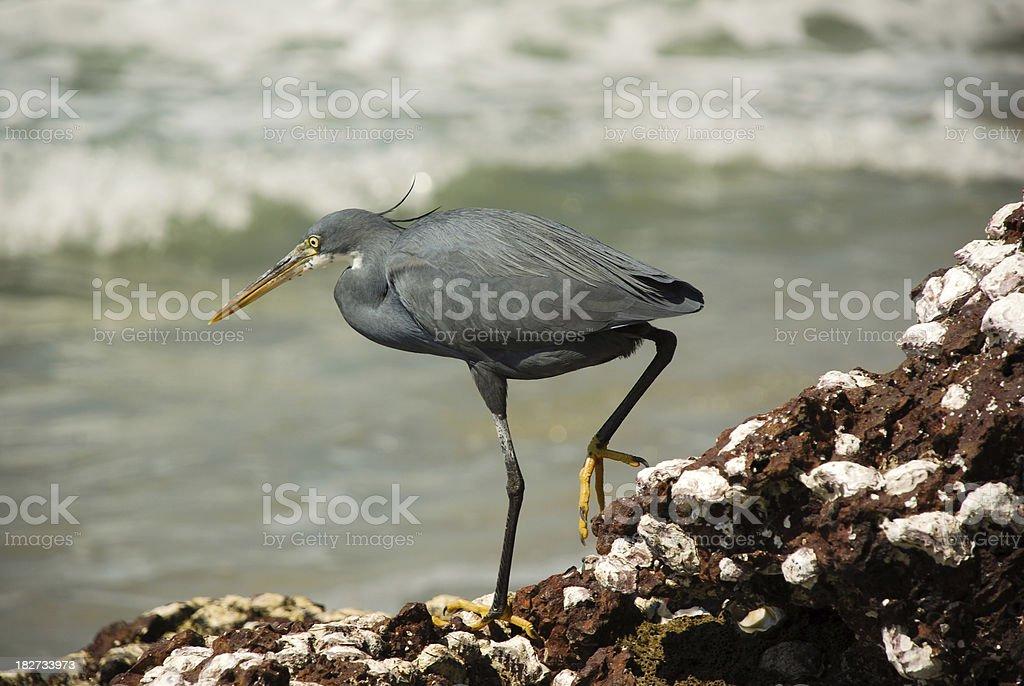 Egret near Water royalty-free stock photo