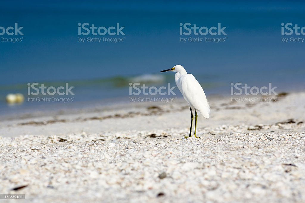Egret stock photo