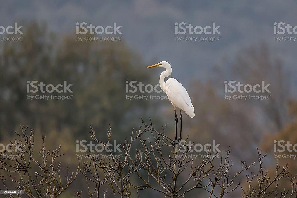 Egret (Egretta thula) stock photo