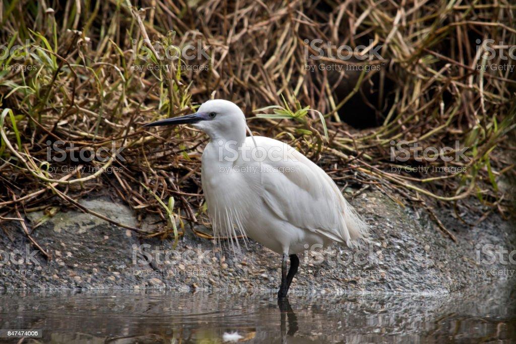 egret stock photo