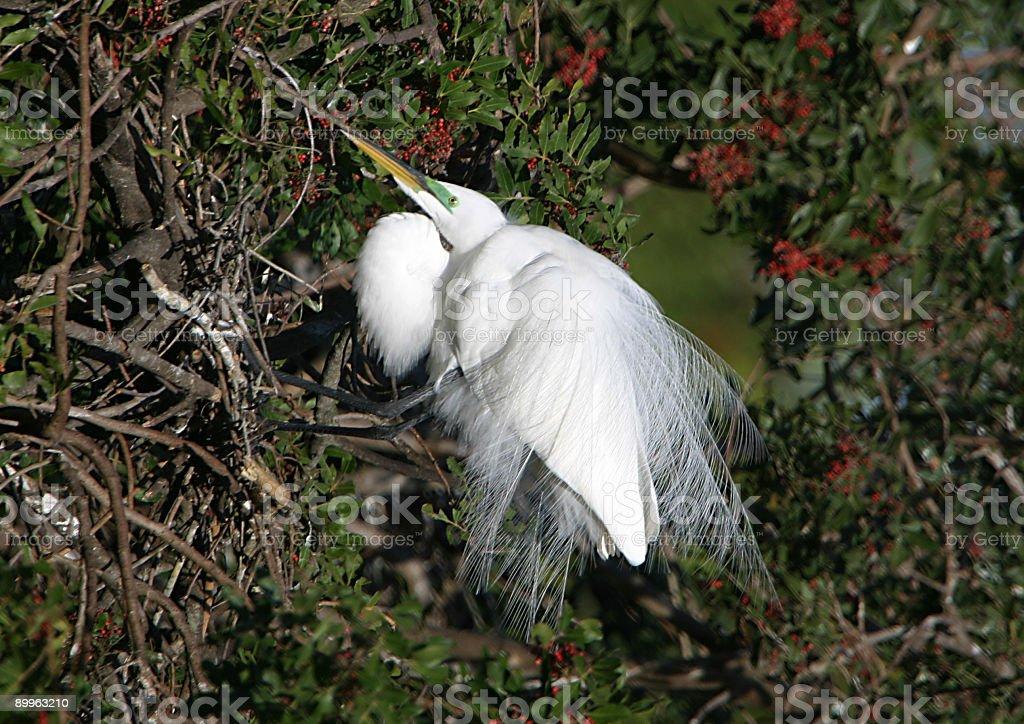 egret plummage royalty-free stock photo