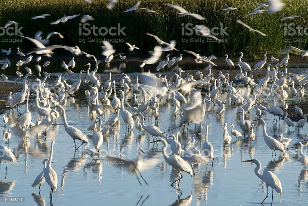Egret Rookery stock photo