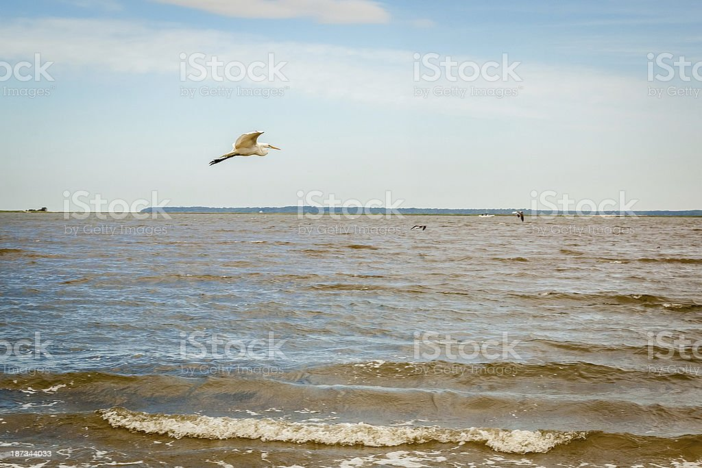 Egret Shore Flight royalty-free stock photo
