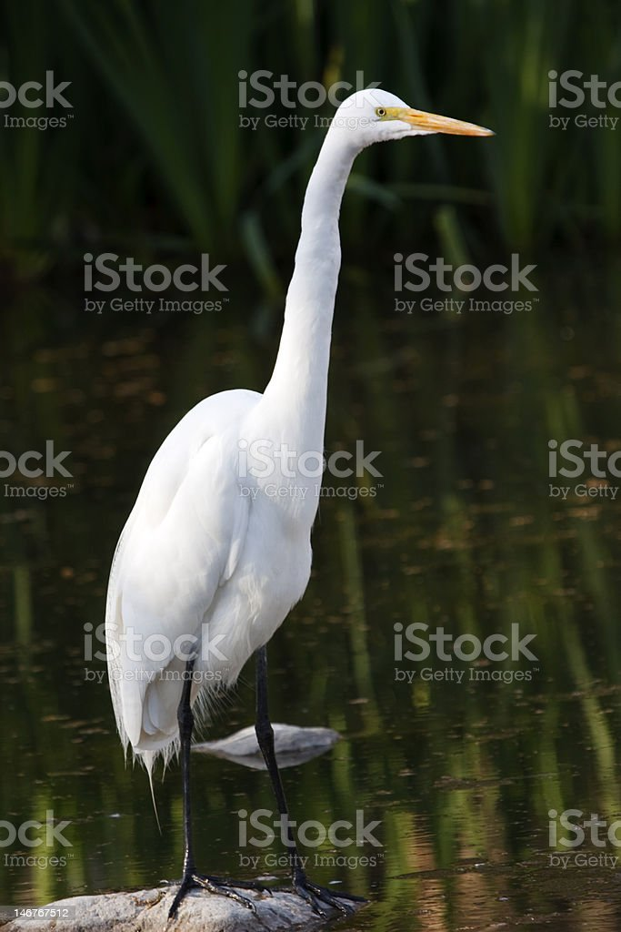 Egret Standing Tall royalty-free stock photo