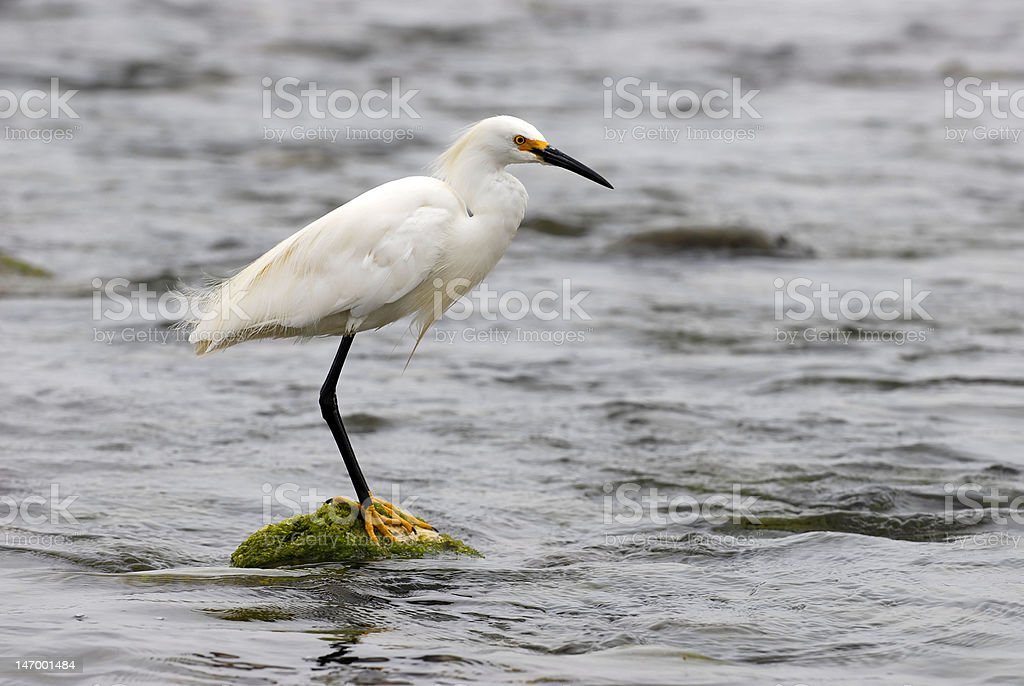 Egret stands proudly against the harsh sea royalty-free stock photo
