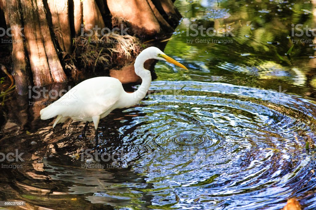 Egret white heron bird hunting in Big Cypress swamp river with large ripples stock photo