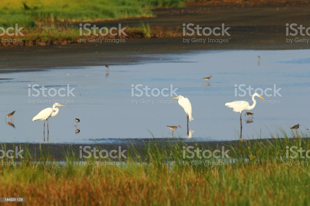 Egrets and sandpipers stock photo
