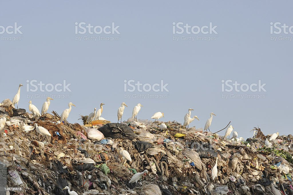 egrets on the garbage heap royalty-free stock photo