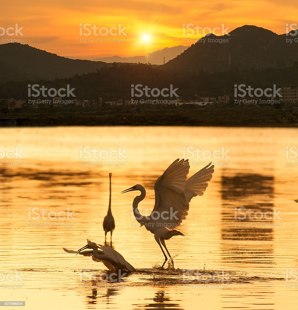Egrets play in the water stock photo