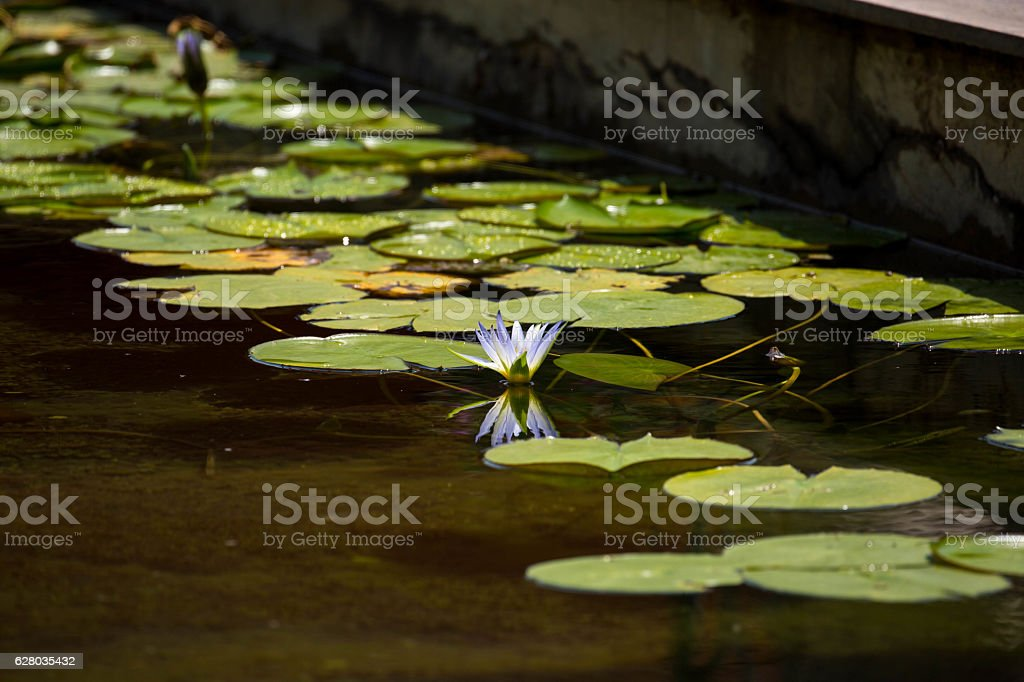 Egypt: Blue Egyptian Water Lily stock photo