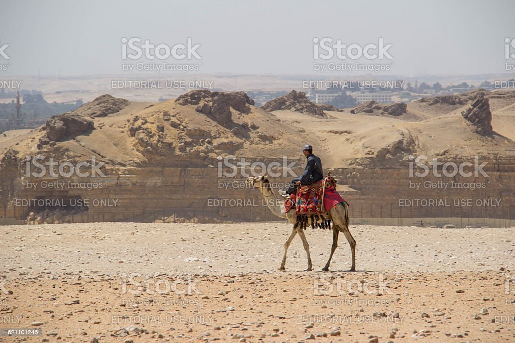 Egypt: Camel at Giza stock photo