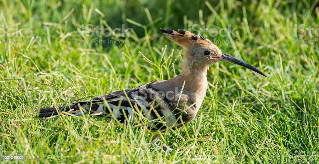 Egypt: Hoopoe Bird in Alexandria stock photo
