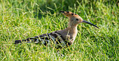 Egypt: Hoopoe Bird in Alexandria