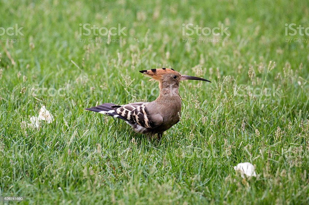 Egypt: Hoopoe in Luxor stock photo
