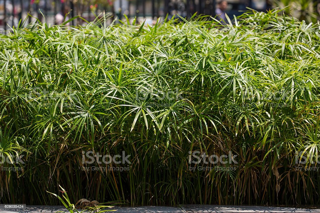 Egypt: Papyrus in Cairo stock photo