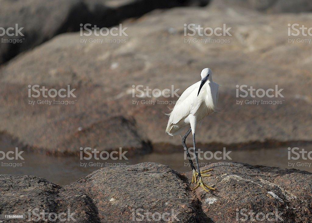 Egypt Water Bird royalty-free stock photo