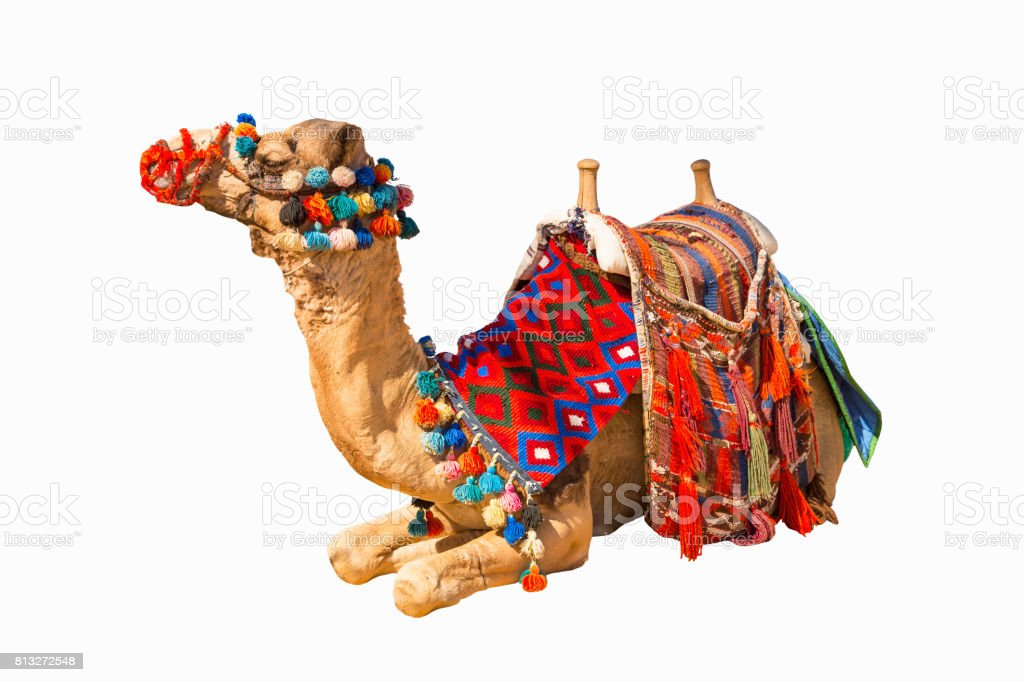 Egyptian camel isolated stock photo