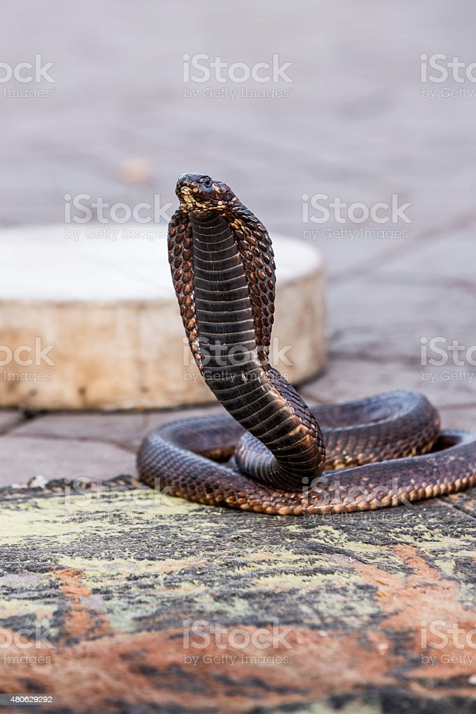 Egyptian cobra charmed at Jemaa el-Fnaa square, Marrakesh (Morocco) stock photo