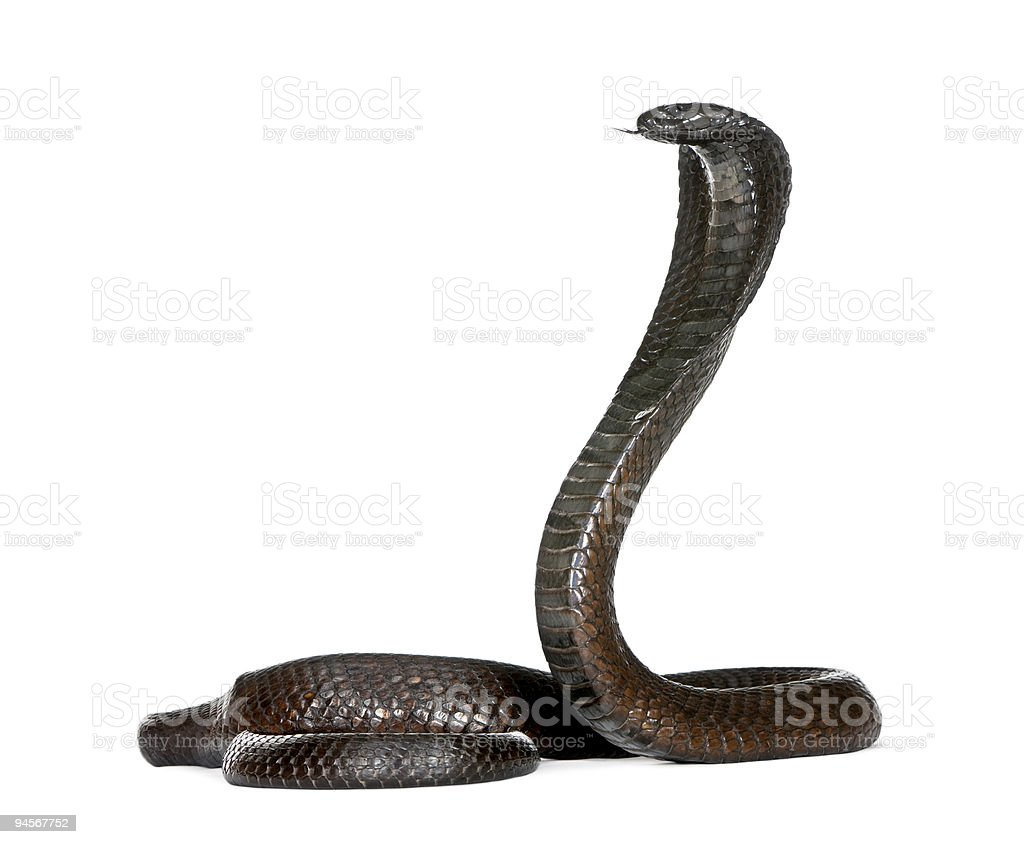 Egyptian Cobra, in front of a white background, studio shot stock photo