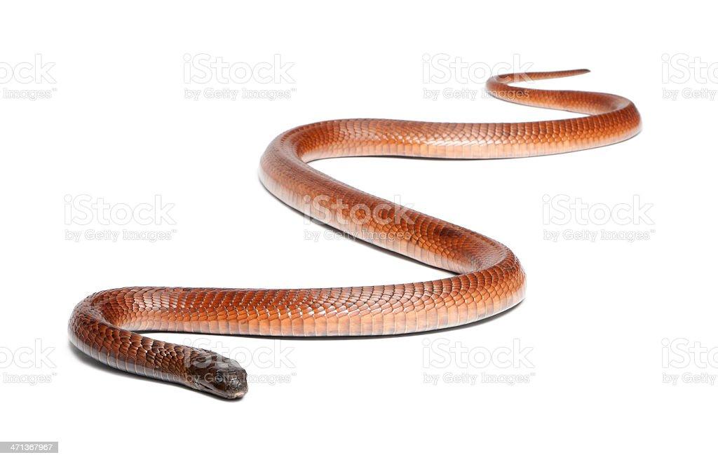 Egyptian cobra - Naja haje, poisonous, white background stock photo