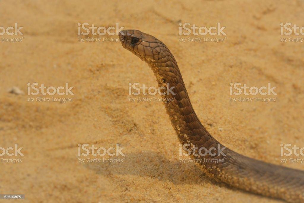 egyptian cobra stock photo