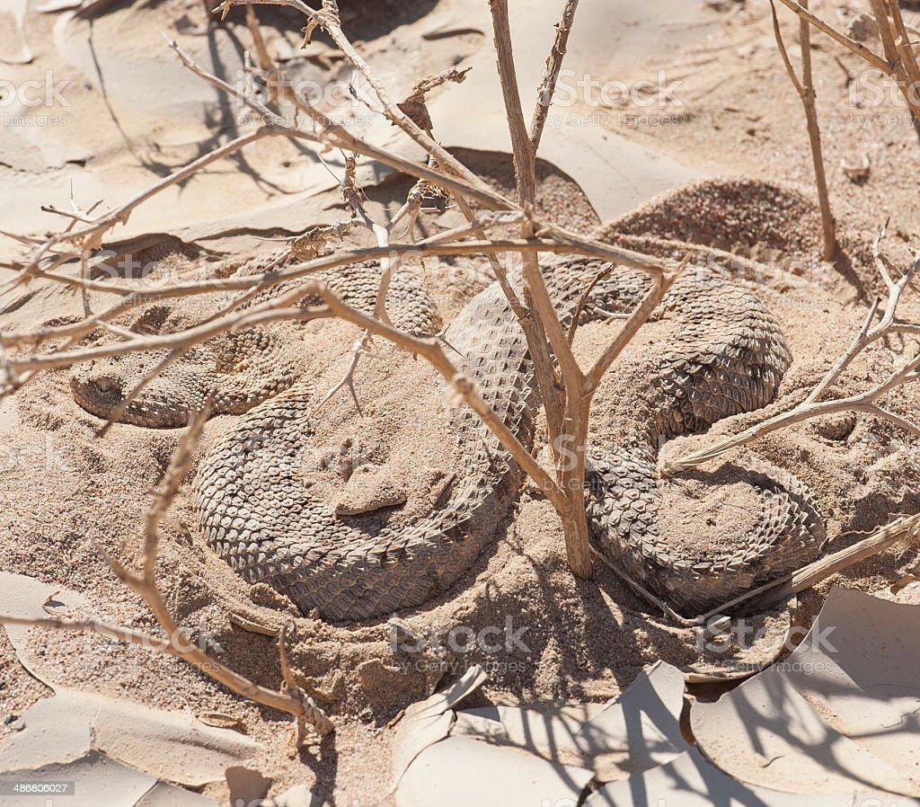 Egyptian desert viper snake in the sand stock photo