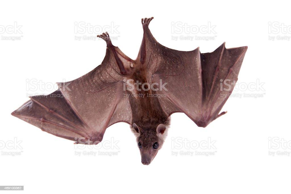 Egyptian fruit bat isolated on white stock photo