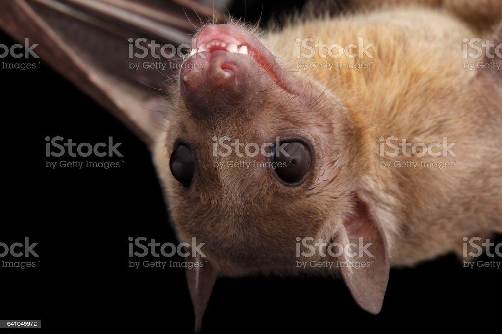 Egyptian fruit bat or rousette, black background stock photo
