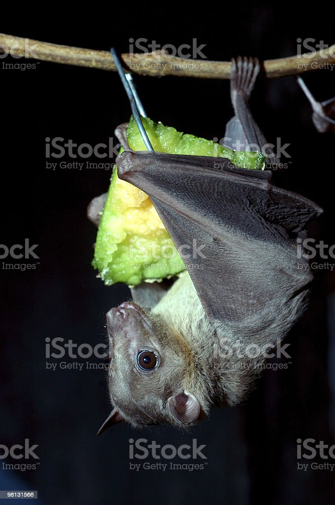 Egyptian fruit bat royalty-free stock photo