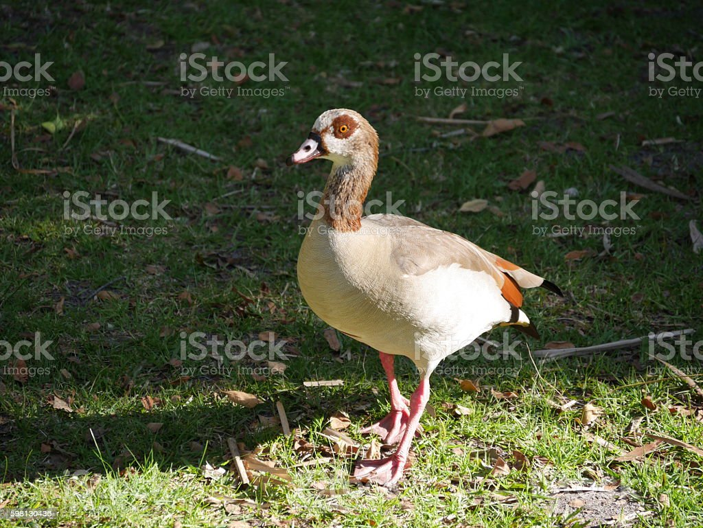 Egyptian goose at Kirstenbosch National Botanical Garden stock photo