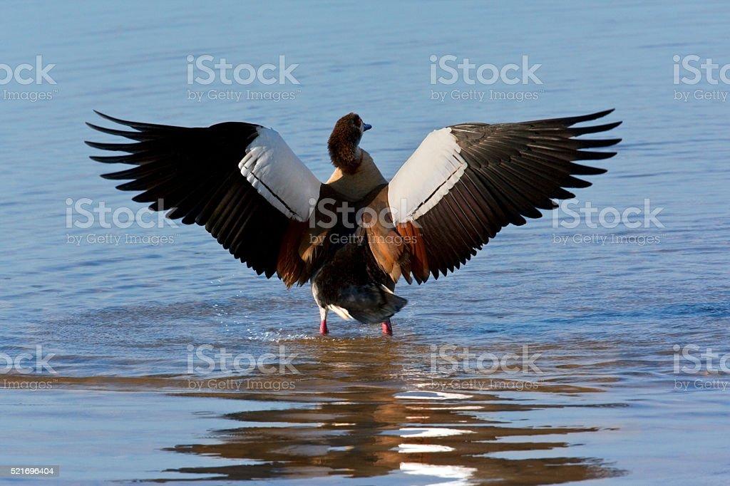 Egyptian Goose - Botswana stock photo