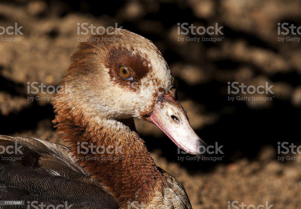 Egyptian Goose, zbliżenie zbiór zdjęć royalty-free