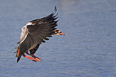 Egyptian goose just before landing in water.
