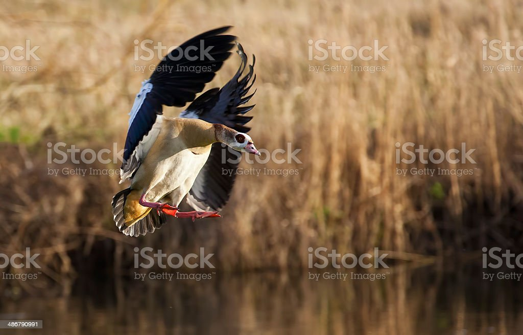 Egyptian Goose on river avon stock photo