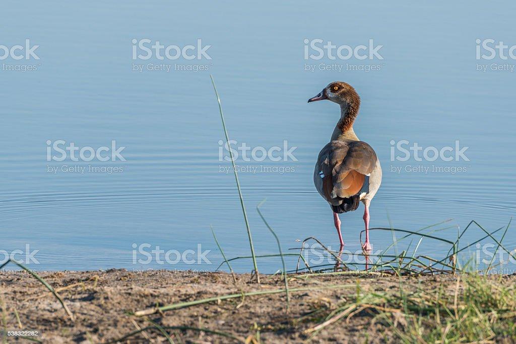 Egyptian goose on river bank facing camera stock photo