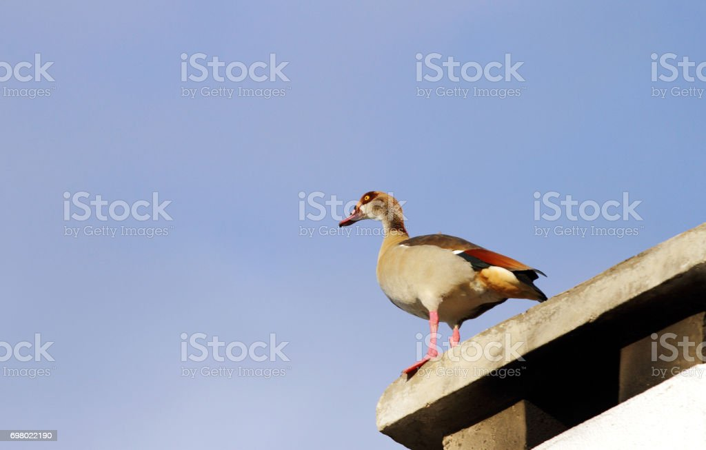 A Egyptian goose on the roof top stock photo