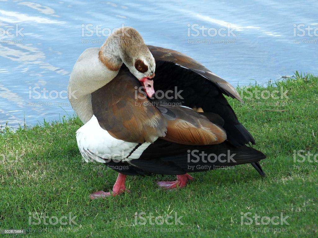 Egyptian Goose (Alopochen aegyptiaca) stock photo