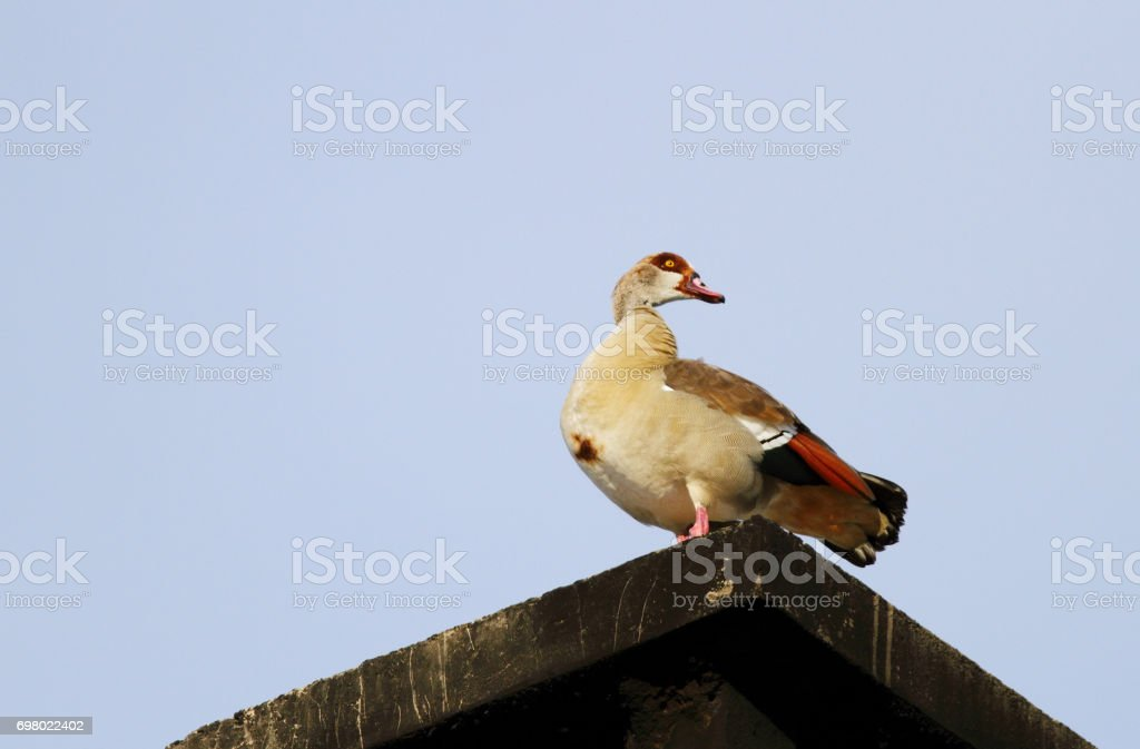 A Egyptian goose sitting on the roof stock photo
