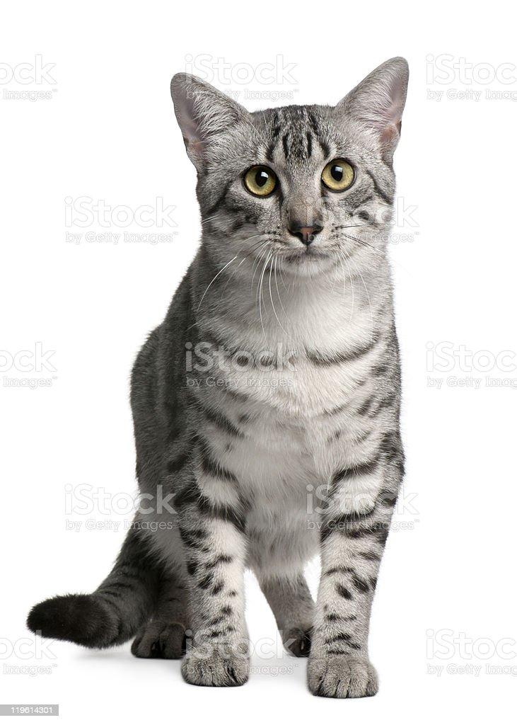 Egyptian Mau Cat, 7 months old, sitting, white background stock photo