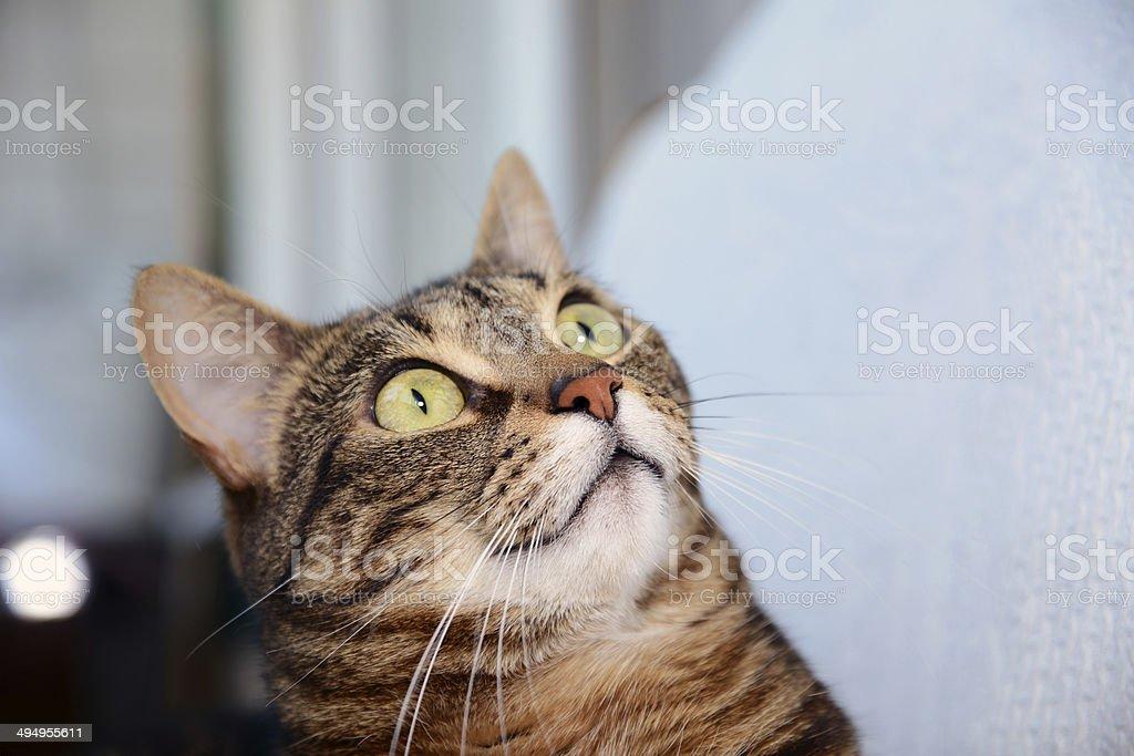 Egyptian Mau cat - amazed stock photo