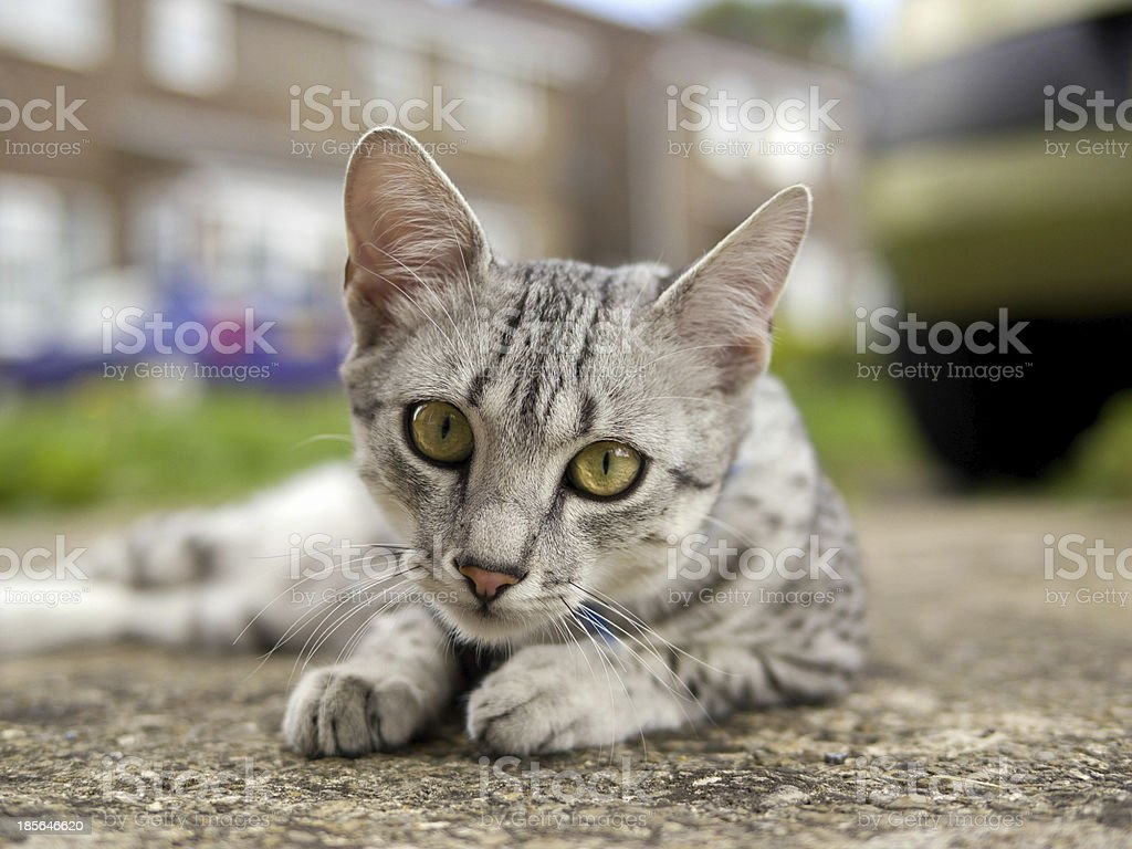 Egyptian Mau cat in street stock photo