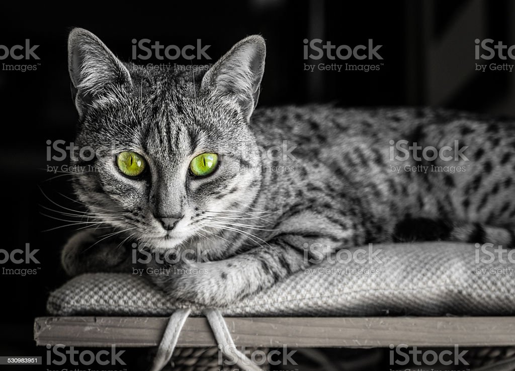 Egyptian Mau with Green Eyes stock photo