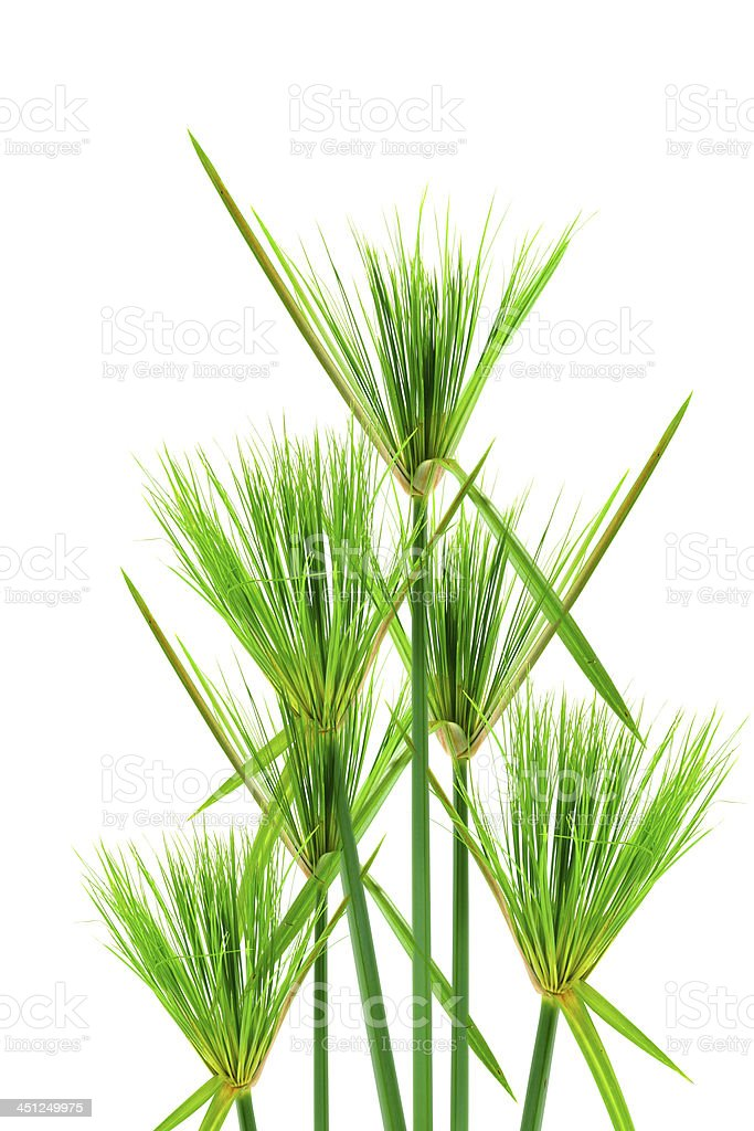 Egyptian papyrus. (Cyperus papyrus L.) royalty-free stock photo
