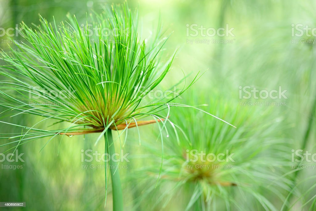 Egyptian papyrus sedge plant. stock photo